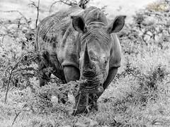 P1100461 (sandi perera) Tags: rhino rhinocéros rhinoceros south africa afrique du sud olympus omdem5 mkii