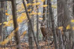 Chevreuil / Deer (ALLAN .JR) Tags: chevreuil deer buck nature wildlife automne fall ilestbernard nikon bois foret bush