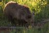 Finding Food in Yellowstone (Ken Krach Photography) Tags: grizzlybear yellowstonenationalpark