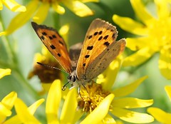 Small Copper Butterfly (trisail) Tags: smallcopper butterfly ragwort lycaenaphlaeas jacobaeavulgaris olympus microfourthirds weed yellow rspb sandy heath