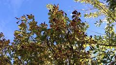 Horse Chestnut (Aesculus hippocastanum) - crown - October 2017 (terrencepickles) Tags: horse chestnut aesculus hippocastanum crown october 2017