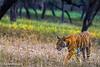 Noor The Tigress At Ranthambhore National Park, India (Aayushmaan Deka) Tags: tigress ranthambhore