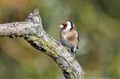 Goldfinch study. (pstone646) Tags: goldfinch bird nature animal fauna closeup colours bokeh wildlife elmley kent feathers