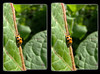The Lonely Lady - Parallel 3D (DarkOnus) Tags: pennsylvania buckscounty huawei mate8 cell phone 3d stereogram stereography stereo darkonus closeup macro ladybird ladybug lonely parallel