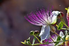 Kappara (Joseph Lanzon) Tags: caper kappar flower gimp plant