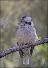 Kookaburra (Charles Connor) Tags: kookaburra kingfishers smallbirds birdphotography australia australianbirds queensland plumage feathers exoticbirds bokeh backgroundblur canon100400lens canon7dmk11 beaks fluffy