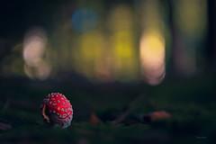 magic.autumn (_andrea-) Tags: amanita muscaria fliegenpilz magic giftig bokehshots bokehjunkie bokeh bokehs love lowpov wood toxic autumn objektiv wald waldboden september mount sony alpha 7m2 zeissplanar carlzeiss sonyalpha7mii 50mm planar14
