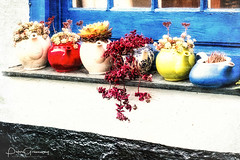 Old China Teapot Planters On A Cottage Window Ledge (Peter Greenway) Tags: docmartin flowerpots portissac woodenframe port flickr cornwall curtains window redteapot windowsill blueteapot greenteapot planters cottage seaside china antique pots house teakettle plants seasideport whiteteapot blue seasidecottage windowledge teapots
