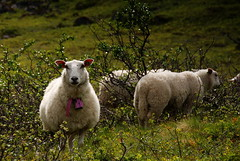 I'm number one! (DoctorMP) Tags: norwegia norway norge moreogromsdal mountains summer lato góry sunmorealpene sunmore habostaddalen sheep