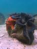 Climber (PacificKlaus) Tags: philippines pangasinan bolinao ocean underwater nature mollusk giantclam tridacna tridacnagigas seastar climbing