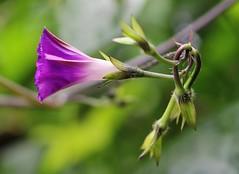 Flower (LuckyMeyer) Tags: violett lila makro garden summer flower fleur blume blüte pflanze grün green