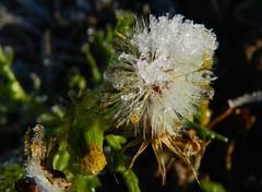 Un petit coup de fraîcheur !   -   A little freshness ! (josianelavielle) Tags: fleurengraines pissentit verdure cristaux glace