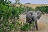 #06  Elefante Africano - Elephantidae Loxodonta Africana (José M. F. Almeida) Tags: kenya masai mara wildlife africa 2017 august reserv elefante africano elephantidae loxodonta africana quenia quênia safari