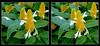 Longwood Gardens Flowers 6 - Parallel 3D Pachystachys lutea Acanthaceae Lollipop flower (DarkOnus) Tags: pachystachys lutea acanthaceae lollipop flower longwood gardens flowers pennsylvania bucks county panasonic lumix dmcfz35 3d stereogram stereography stereo darkonus scenic scenery botanical garden golden shrimp yellow candles ttw popout parallel