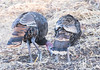 Is this how you do the Charleston? (alankrakauer) Tags: wildturkeys turkeys wildlife urbanbirds urbanwildlife foraging foragingbehavior gamebird