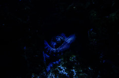 Guardian of the black depth (Joseph Trojani) Tags: poisson fish mer sea ocean underwater underthesea corail nikon d7000 animaux animal exotique exotic blue dark black profondeur darkness noirceur atlantique pieuvre poulpe octopus