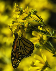 MonarchButterfly_SAF4513-2 (sara97) Tags: danausplexippus butterfly endangered insect missouri monarch monarchbutterfly nature outdoors photobysaraannefinke pollinator saintlouis towergrovepark midwest