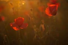 Sunset Light in Summer (Stefan Zwi.) Tags: mohn poppies sunset light summer sommer blume flower red rot ngc