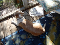 Rosie taking a break (Just Back) Tags: dog dogs dogarama mutt love columbia sc hound fur tail tongue canine repose quiet still paws thinking