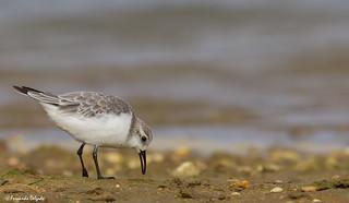Pilrito das praias |Sanderling |  Correlimos Tridáctilo | Bécasseau sanderling(Calidris alba)