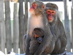 Macaco-do-japão / Japanese macaque ou Snow monkey (Macaca fuscata) (Marina CRibeiro) Tags: portugallisbon lisboa zoo monkey macaque macacodojaão japanesemacaque snowmonkey primata primate