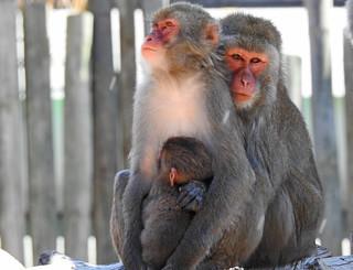 Macaco-do-japão / Japanese macaque ou Snow monkey (Macaca fuscata)