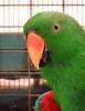 Eclectus parrot (markb120) Tags: bird fowl flyer flier animal fauna eye optic orb comb crest beak bill pecker rostrum neb nib plumage feathering feather coverts coat dress