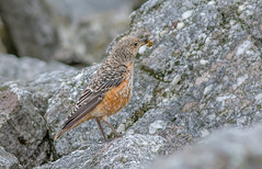 JWL1989  Rock Thrush.. (jefflack Wildlife&Nature) Tags: thrush rockthrush birds avian animal wildlife wildbirds countryside migrants nature