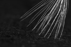 Treading Softly (Anxious Silence) Tags: macro closeup blackandwhite dandelion dandelionclock plants nature seeds seedhead