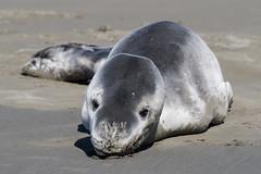20171017_9000_7D2-190 Leopard Seal on beach (290/365) (johnstewartnz) Tags: canon canonapsc apsc eos 7d2 7dmarkii 7d canon7dmarkii canoneos7dmkii 70200mm 70200 70200f28 seal leopardseal hydrurgaleptonyx newbrighton newzealand newbrightonbeach southnewbrighton 100canon unlimitedphotos yabbadabbadoo yabbadabadoo marinemammal sealeopard onephotoaday onephotoaday2017 oneaday project365 365project 7dwf