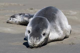 20171017_9000_7D2-190 Leopard Seal on beach (290/365)