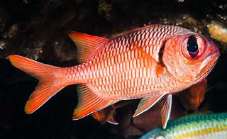 Blotcheye Soldierfish - Myripristis murdjan