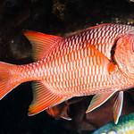 Blotcheye Soldierfish - Myripristis murdjan thumbnail