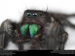 Bold jumping spider (Salticidae, Phidippus audax (Hentz)) (insectsunlocked) Tags: arachnida araneae salticidae phidippus phidippusaudax boldjumpingspider jumpingspider spider santillanaale insectsunlocked