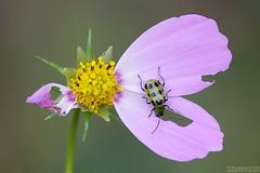 Work in Progress (Vie Lipowski) Tags: spottedcucumberbeetle diabroticaundecimpunctata cosmos beetle bug insect flower backyard garden wildlife nature macro