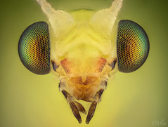 Green Lacewing (robert.vierthaler) Tags: olympus omd em1 stacking microscope nikon insects macrophotography macro lacewing fly nature bugs