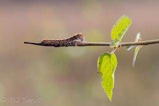 Oak Eggar caterpillar / Hageheld rups (Lasiocampa quercus)