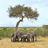 #11  Elefante Africano - Elephantidae Loxodonta Africana (José M. F. Almeida) Tags: kenya masai mara wildlife africa 2017 august reserv elefante africano elephantidae loxodonta africana quenia quênia safari