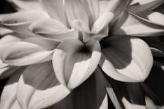 A place to hide (citrusjig) Tags: fuji xe1 automamiyasekor55mmf18 24mmextensiontube dahlia blackandwhite toned macrocloseup