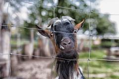 neugierig? (diwan) Tags: germany deutschland sachsenanhalt saxonyanhalt magdeburg city stadt elbauenpark animal ziege goat google nikcollection plugins colorefexpro4 viveza2 fotogruppe fotogruppemagdeburg sigma35mmf14dghsmart canoneos5dmarkiv canon eos 2017 geotagged geo:lon=11664466 geo:lat=52135424