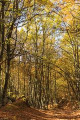 Hayedo de Canseco. © Otoño 2017 (Jesus Portal) Tags: otoño2017 otoño jesusportal canon angular 60d color paisaje natural landscape serie filtro polarizador naturaleza disparador asturias hojas rama amarillo naranja yellow orange verde green estacion paraiso leon canseco hayedo hayas vertical camino senda
