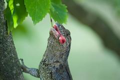 Costa-Rica-4509.jpg (ingmar_) Tags: costarica fauna gezin natuur reptiel vakantie zomervakantie