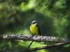 bentevizinho-de-penacho-vermelho (Myiozetetes similis) Social Flycatcher (Edson Roberto - Potim) Tags: bentevizinhodepenachovermelho myiozetetessimilis socialflycatcher tyrannidae aves