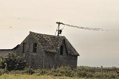 Flock of starlings (Thankful!) Tags: farm farmhouse abandoned derelict oncewashome brucepeninsula ruralontario starlings flock murmuration