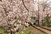 Tunel-Sakura-Kioto-Randen-30 (luisete) Tags: hanami japan japón randen túneldesakura tranvía tramway kioto kyoto