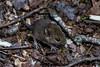 Mouse (Adrià Páez) Tags: mouse raton animal nature naturaleza río ulla galicia galiza river pontevedra iberian ibérica peninsula península spain españa europa europe canon eos 7d mark ii
