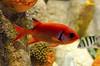Red Fish (rschnaible) Tags: monterey bayarea california aquarium red fish sea sealife underwater macro