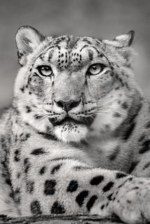 B&W Snow Leopard Stare 3-0 F LR 9-16-17 J648
