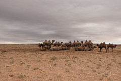 1706_mbe_mongolia_ömnögov_tsogt ovoo_011 (Marcel Berendsen - The Netherlands) Tags: asia asian azie camelusbactrianus mongolia mongolian mongolië travel tsogtovoo world agrarisch agricultural agriculture bactraincamel camel camels caprine countrified desert farming gobi gobidesert kameel kamelen landelijke landscape landschap rural rustic scenery scenic travelphotography woestijn ömnögov