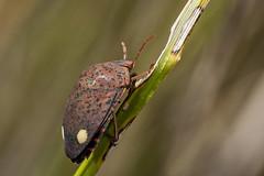 Solenosthedium bilunatum (Jaume Bobet) Tags: solenosthedium bilunatum hemiptera scutelleridae chinche insecto macro bobet canon sigma